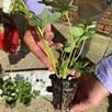 Strawberry Plant EB - Malling Champion (6) Plugs