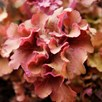 Heuchera Frilly