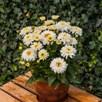 Leucanthemum Macaroon Plants