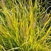 Pennisetum Plant - Lumen Gold
