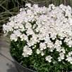 Nemesia Wisley Vanilla Plants