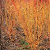 Cornus sanguinea Plant - Midwinter Fire
