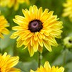 Rudbeckia Plants - Enchanted Collection