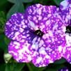 Petunia Plants - Night Sky