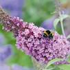 Buddleja Plant - 'Buzz® 3 in 1'