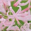 Nerine Bowdenii Collection