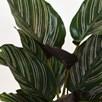 Calathea ornata Sanderiana (Peacock Plant) 11cm x 1