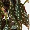Begonia maculata 12cm Pot x 1
