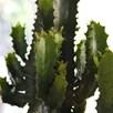 Euphorbia Acruensis Cactus 17cm Pot x 1