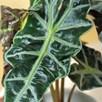 Alocasia amazonica (Elephant Ear Plant) 11cm Pot x 1