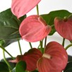 Anthurium Aqua Salmon in Sierglass 14cm Pot x 1
