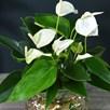 Anthurium Aqua White in Sierglass 14cm Pot x 1