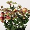 Kalanchoe Dolly 14cm Pot x 1