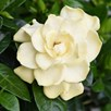 Gardenia Standard Twisted Stem 17cm Pot x 1