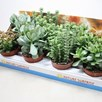 Crassula Succulents Mix