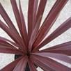Cordyline Red Star - 7.5 Litre Pot