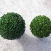 Buxus Sempervirens 2 Litre Pot x 1