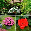 Geranium Tri Colour Collection (18)