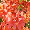 Nurserymans Choice Evergreen Azalea