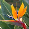 Strelitzia Bird Of Paradise 13cm Pot x 1