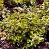 Euonymus Emerald n Gold 3