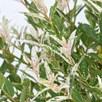 Salix Flamingo