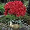 Azalea Standard Japanese Red