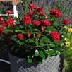 Rose (Bush) Precious Ruby 3 Litre Pot x 1