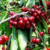 Cherry (Prunus) Stella Patio Standard (Colt) 5L Pot x 1
