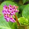 Bergenia Purpurascens 1 Litre Pot x 1