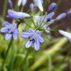 Agapanthus Golden Drop