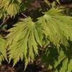 Acer Japonicum Aconitifolium 15 Litre Pot x 1