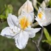 Azalea Persil