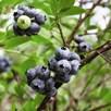 Blueberry Full Season Collection