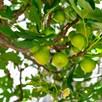 Fig Dalmatie