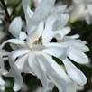 Magnolia Plants  stellata