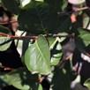 Aronia Prunifolia Viking