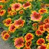 Gaillardia Plant - Arizona Sun