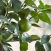 Lime (Citrus) Tahiti 5L Pot x 1