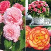 Begonia  Collection (20)