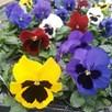 Primula & Pansy Plants - Mix