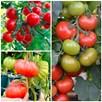 Tomato Grafted Crimson Collection (6)