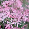 Lychnis flos-cuculi Plant - Terry's Pink