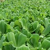 Pistia Stratiotes - Pack of 5