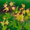Acer palmatum Plant - Little Princess