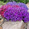 Aubrieta Plants - Mix