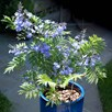 Jacaranda - Bonsai blue