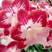 Orchid Phaleonopsis Tinkerbell