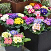 Primula Mix Plants
