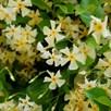 Trachelospermum jasminoides 'Star of Toscane'